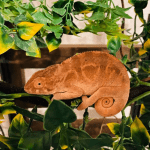 why do chameleons hiss