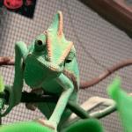what animals eat chameleons