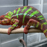 how many colors can a chameleon change