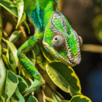 how to take care of a baby chameleon