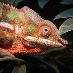 what chameleons change color