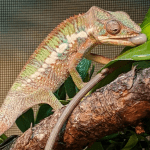 what is the lifespan of a chameleon