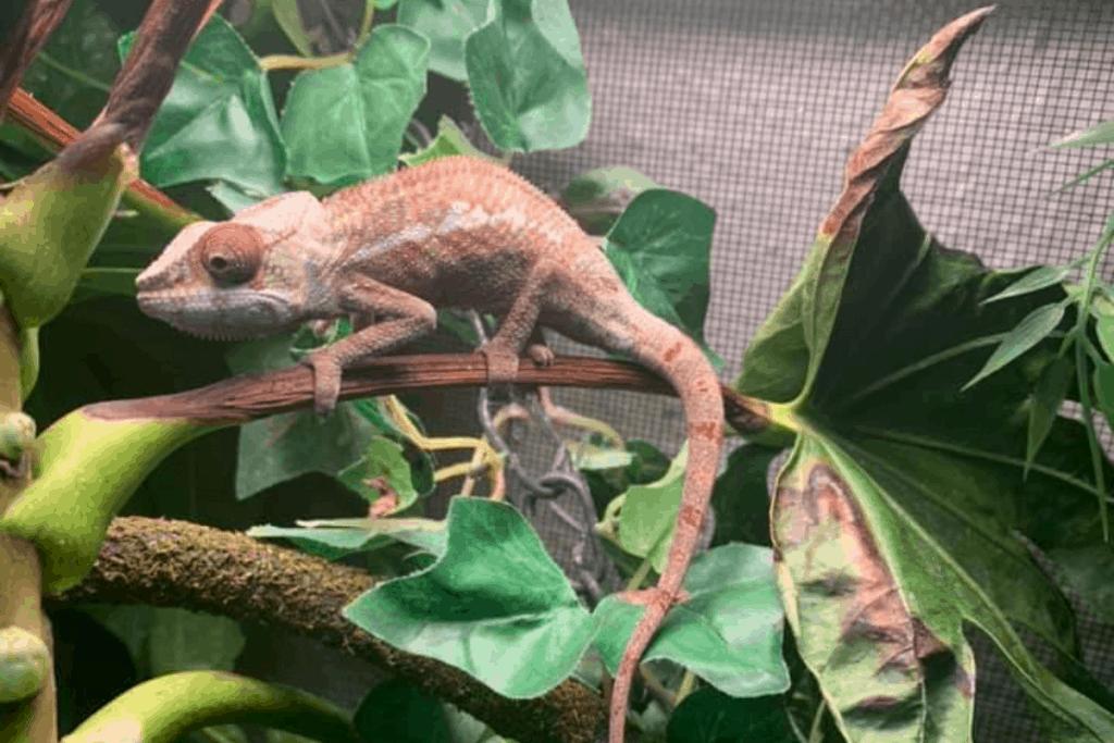how do chameleons move