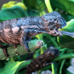 how long are chameleons tongues