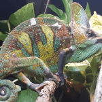 how much to feed a chameleon