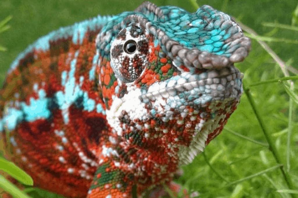 how to breed chameleons