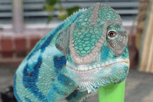 why is my chameleon not eating