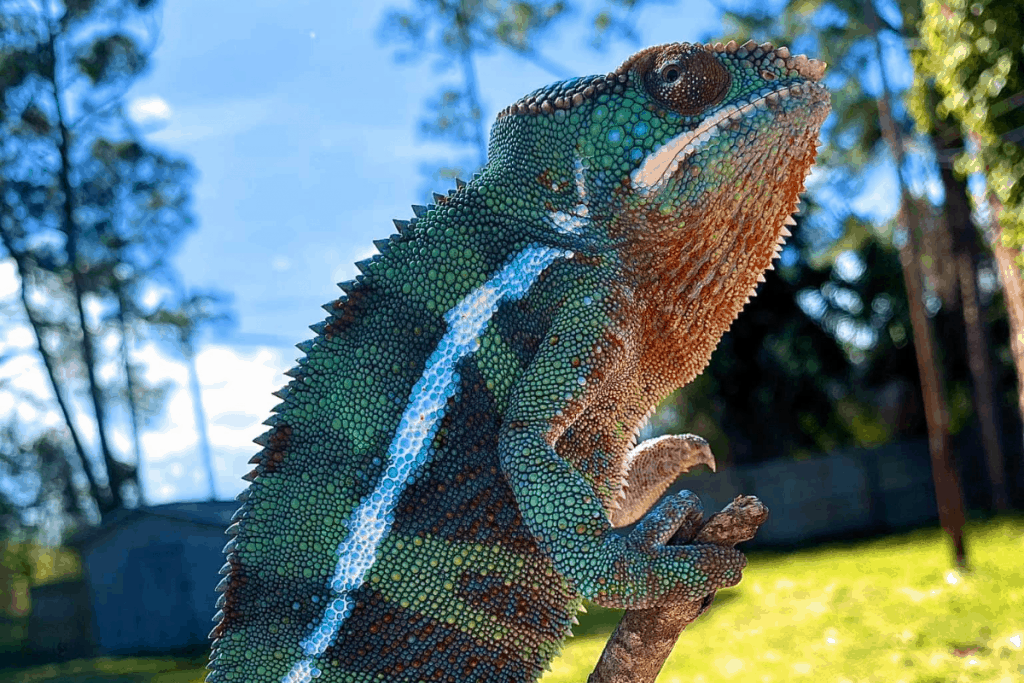 what do you need for a pet chameleon