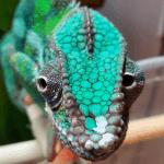 how do chameleons reproduce