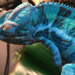 what color is a chameleon on a mirror
