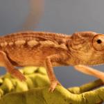 how fast do chameleons grow
