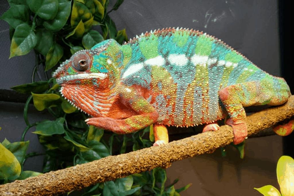 what do chameleons eat in the wild