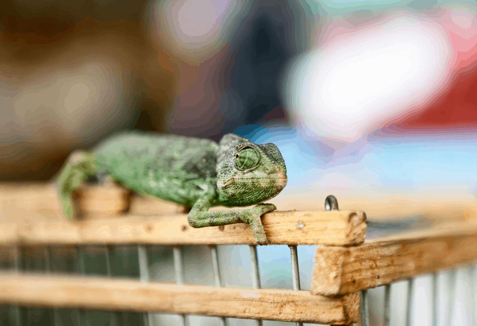 chameleon dying
