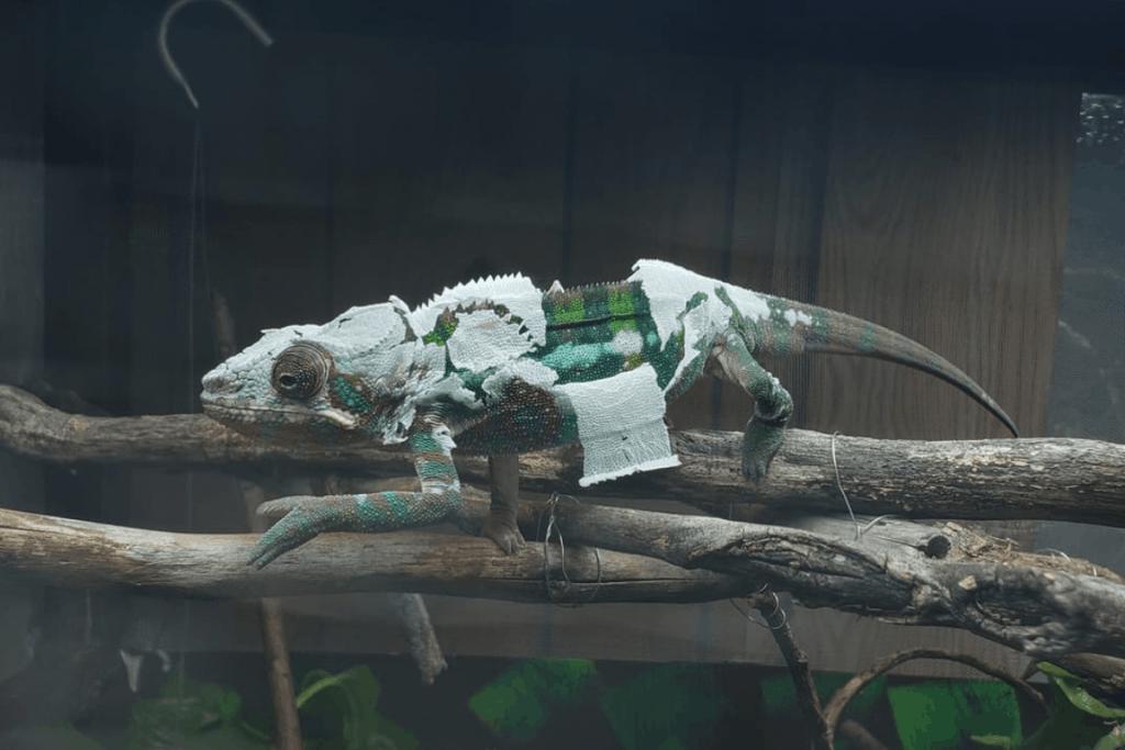 chameleon shedding