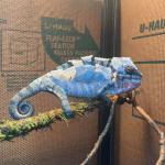 why do chameleons shed