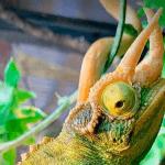 what do jackson chameleons eat