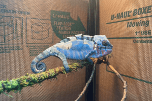 why do chameleons shed
