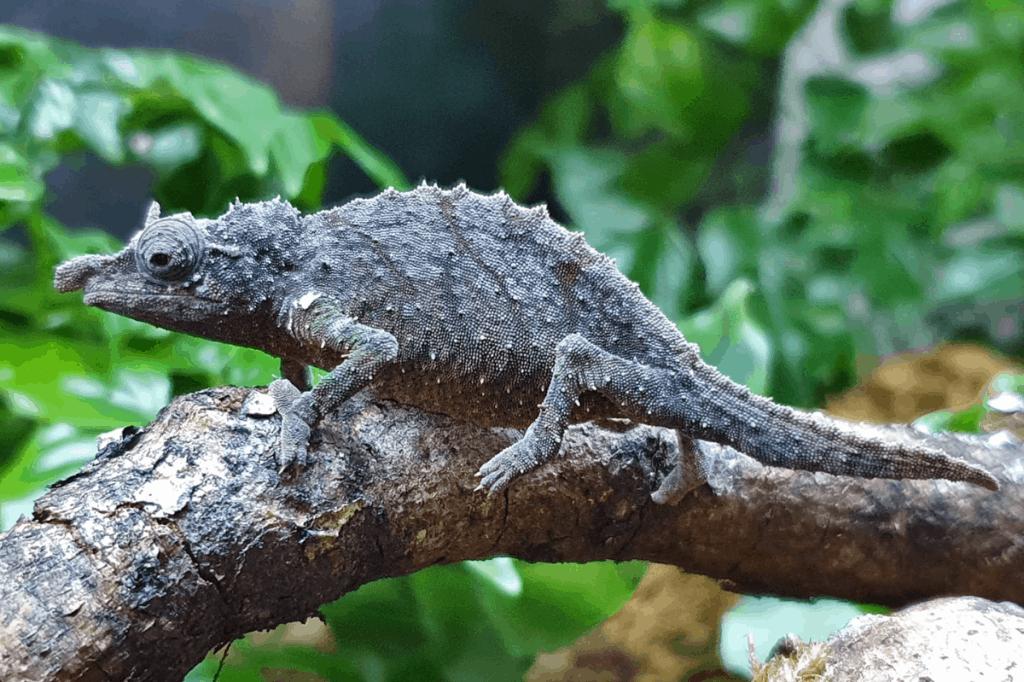 what do pet chameleons eat
