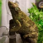 how long do jackson chameleons live