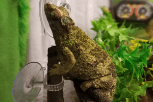 how long do jackson chameleons live