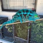 best lighting for panther chameleon