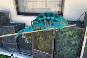 best lighting for panther chameleon