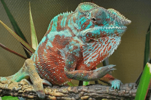 how to sex a chameleon