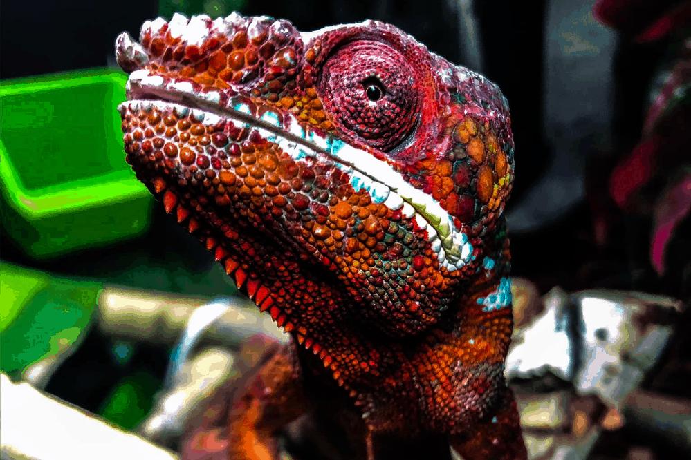 how long do panther chameleons live