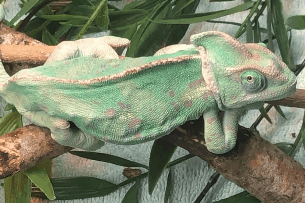 how to tell if a chameleon is dying