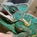 best basking bulb for chameleon