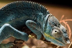 how to care for a panther chameleon