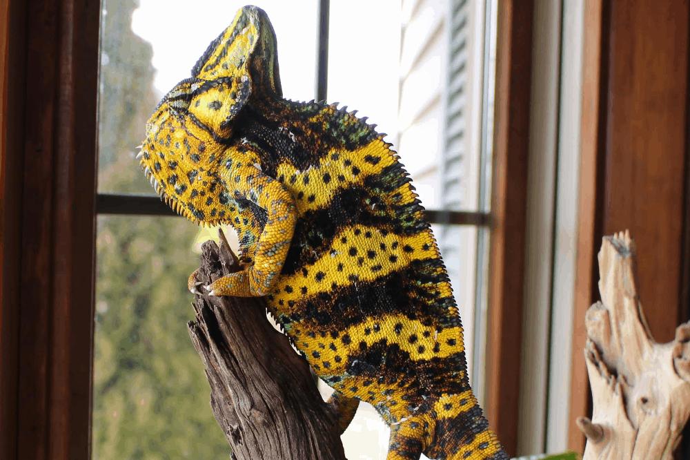 how long do veiled chameleons live