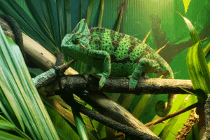 what fruits can chameleons eat