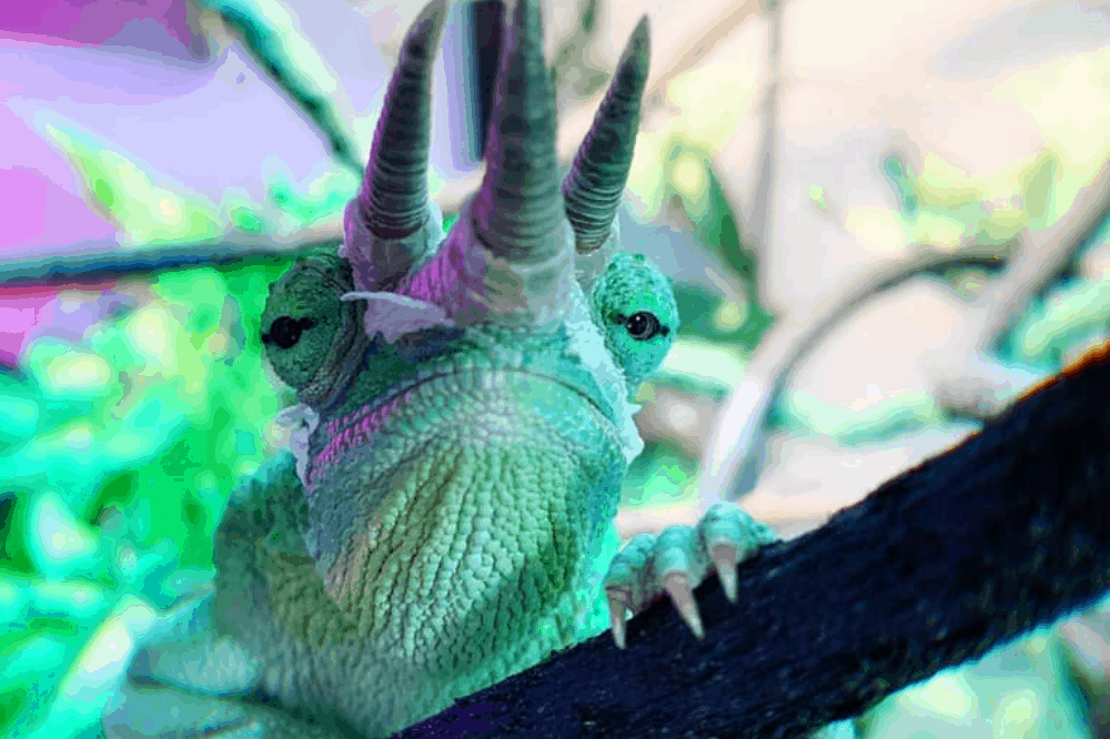 can i feed my chameleon a vegetarian diet