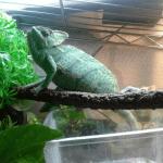 why do chameleons puff up