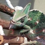 what do chameleons drink