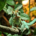 how big do jackson chameleons get