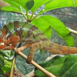 how do chameleons mate