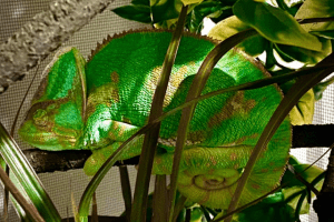 how often do chameleons eat