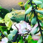 best plants for chameleons