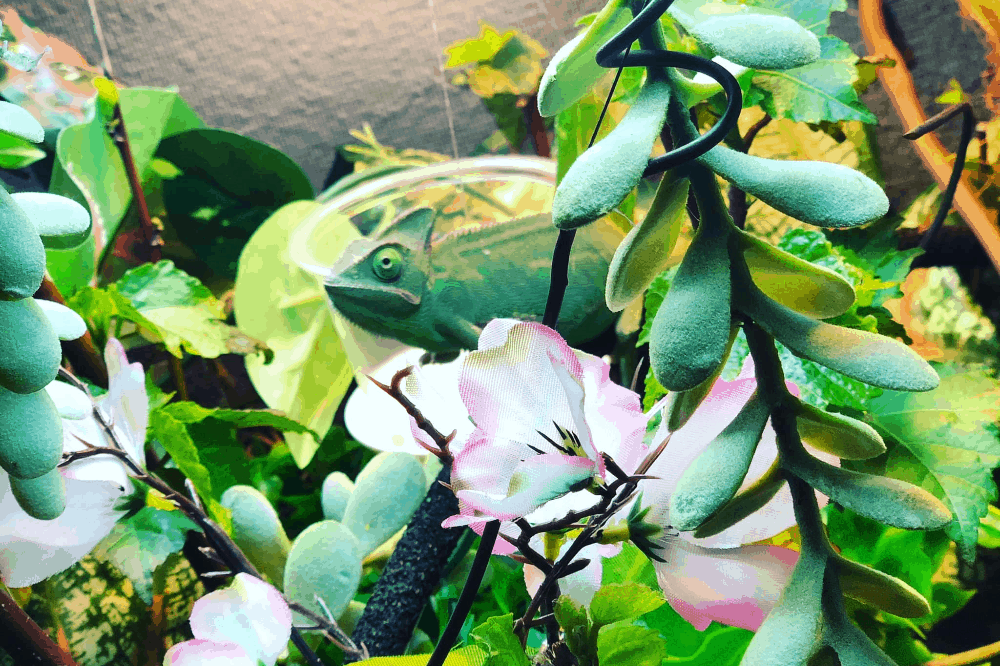 best plants for chameleons