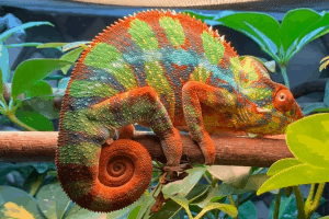 how fast do chameleons change colors