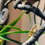 how many crickets to feed a chameleon