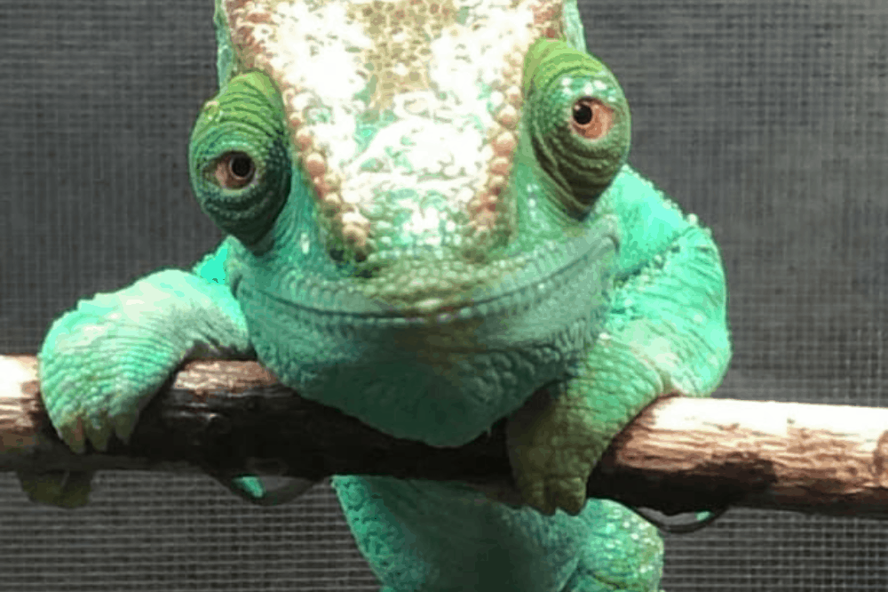 how much does a chameleon weigh