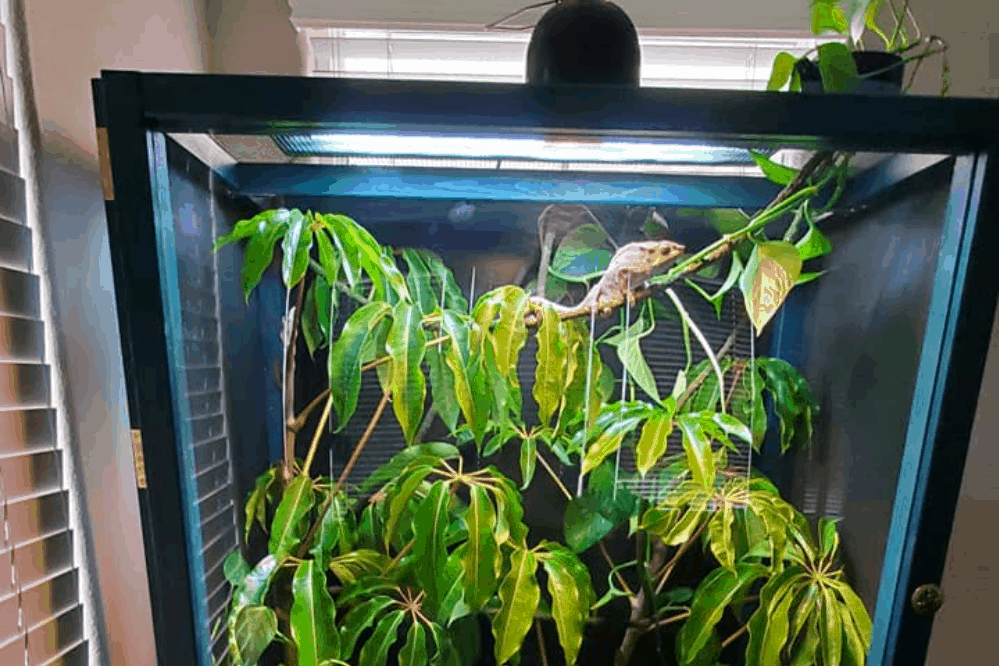 how to clean a chameleon cage