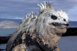 why the marine iguana may be endangered