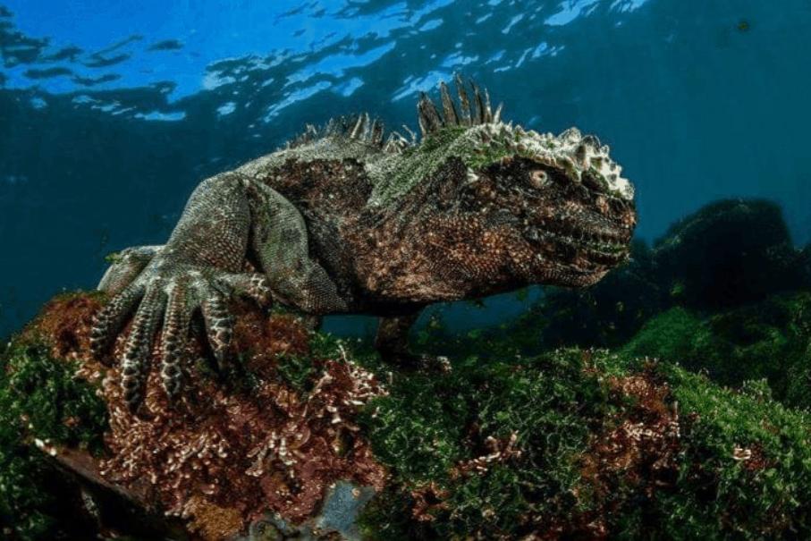 what do marine iguana eat