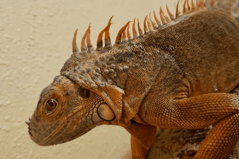 why wont my iguana eat