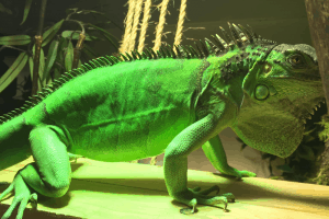 what is the lifespan of an iguana
