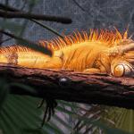how many eggs does an iguana lay